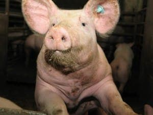 Ein Schwein im Stall - kann auch Gegenstand eines Flachwitzes sein