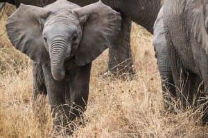 Oft unterschätzt in seiner Gefährlichkeit: der Elefant!